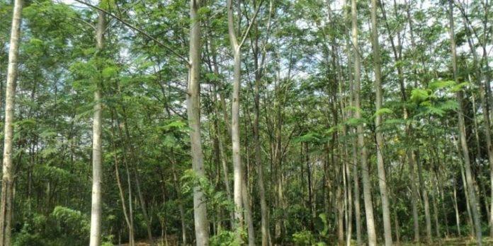 Inilah Manfaat Pohon Sengon, Pohon Yang Jadi Kambing Hitam Padamnya Listrik Di Jawa
